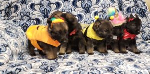 German Shepherd Puppies, KRUSHK9 Ocean County Dog Training