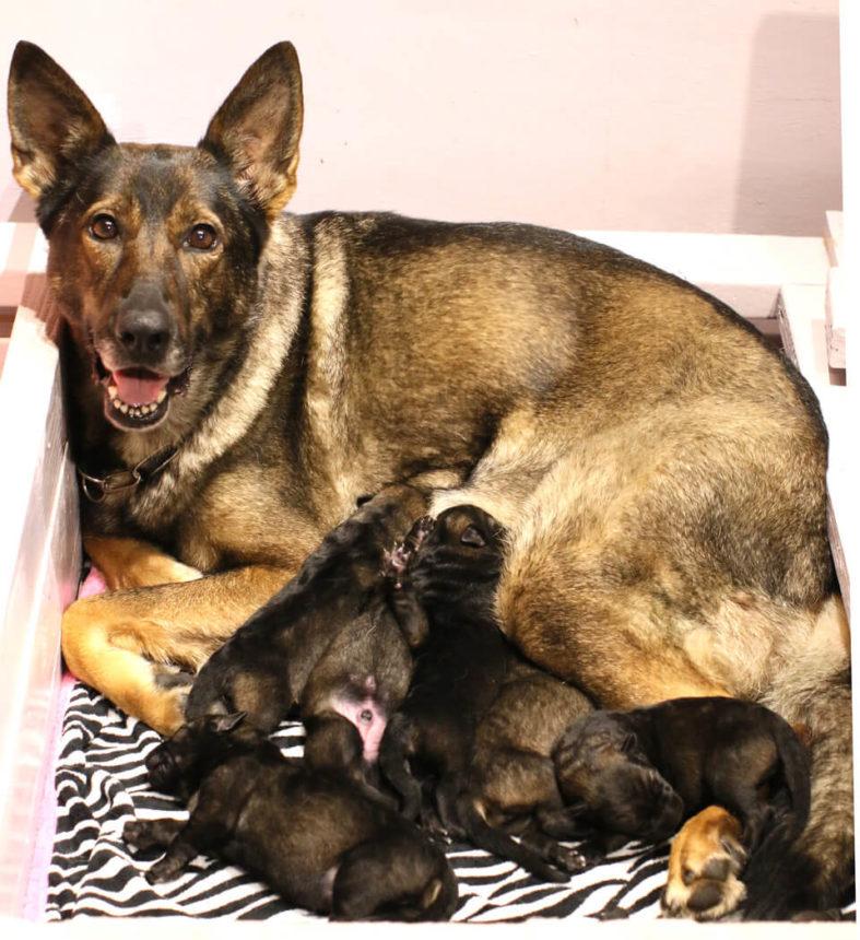 German Shepherd Puppies Available | KrushK9